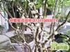 福建省漳州市树葡萄5公分培植树葡萄5公分分类