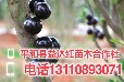 辽宁省辽阳市树葡萄1年苗供应树葡萄1年苗新行情