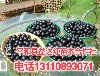 辽宁省营口市台湾树葡萄哪里?#26032;?#21488;湾树葡萄代理价