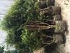 吉林省松原市树葡萄7年树用途树葡萄7年树厂价直销