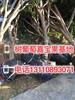 襄阳市9年嘉宝果树价格哪的