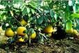 多久可以結果云南麗江廣西可以種植矮晚柚嗎