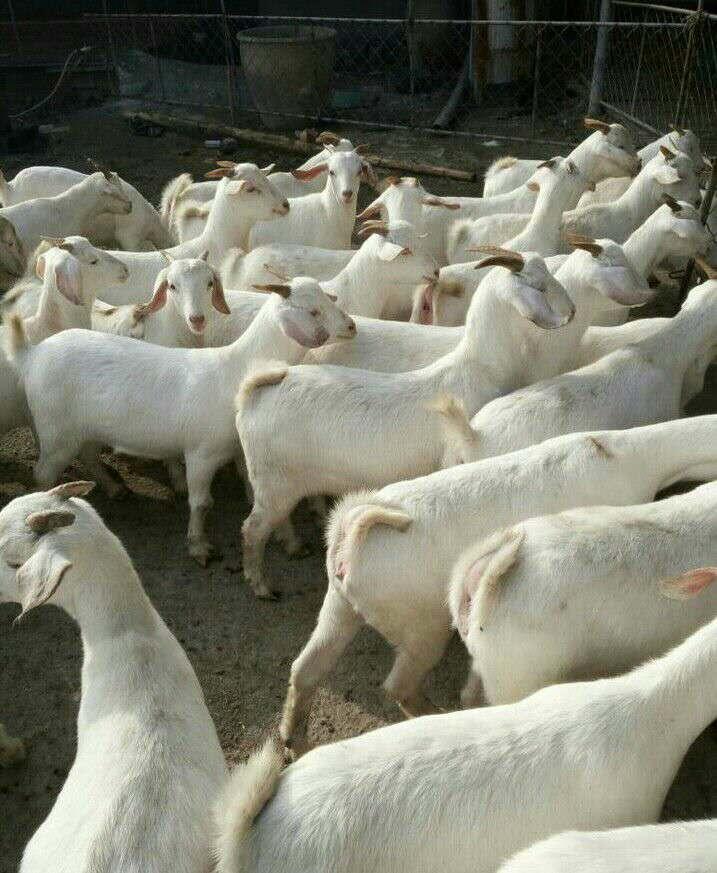 山东养羊场,白山羊价格,山东济宁白山羊养殖场.图片
