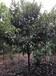 大量供應枇杷全冠枇杷樹出售