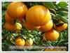 提高柑橘甜度水溶肥-哪款大量元素水溶肥增甜效果好