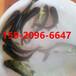 出售优质的北海罗非鱼苗,白鲳鱼苗,七星鱼苗,罗非鱼苗,大口鲶鱼苗