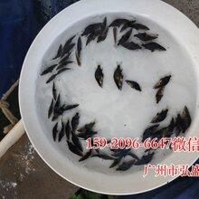廣西來賓鯉魚苗貴港桂花魚苗鱖魚苗批發價格圖片