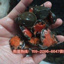 广东中华鳖苗种出售中华鳖苗种大量供应图片