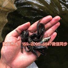 南寧斑點叉尾鮰魚苗價格鮰魚苗出售廣西河池叉尾鮰魚苗批發圖片