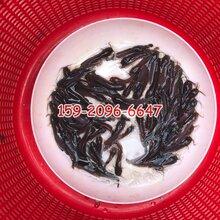 衡阳埃及塘鲺鱼苗出售三黄塘鲺鱼苗湖南常德本地塘鲺鱼苗图片