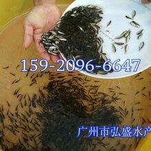 南昌埃及塘鲺鱼苗出售三黄塘鲺鱼苗江西宜春本地塘鲺鱼苗图片