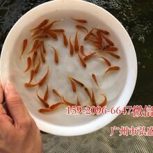 邵阳淡水红鲳鱼苗优质鲳鱼苗湖南娄底白鲳鱼苗图片
