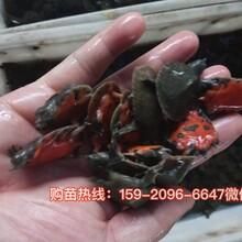 韶關山瑞珍珠鱉苗種供應廣東佛山珍珠鱉苗種圖片