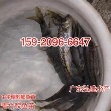 廈門青魚苗出售優質青魚苗供應福建南平青魚苗批發圖片