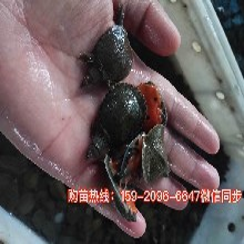 防城港正宗中華鱉苗種廣西北海中華鱉苗種圖片