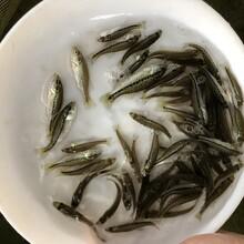 三明桂花鱼苗出售桂花鱼苗福建漳州桂花鱼苗图片