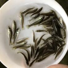 郴州中華鱘魚苗鱘魚苗湖南永州鴨嘴鱘魚苗圖片