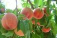 """全国最好吃的水蜜桃在哪里_山东蒙阴县被称为""""中国蜜桃之都"""""""