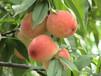 """怎么能找到最正宗的蒙阴水蜜桃——""""桃小蒙""""有1500余亩蜜桃"""