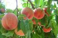 水蜜桃的营养价值_桃小蒙蒙阴蜜桃蛋白质含量比梨高出七倍