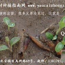 致富品种之——菜药两用的大叶蒲公英中药材种植指南网