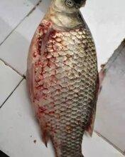 錨鳋凈-魚全身紅點帶刺血點圖片