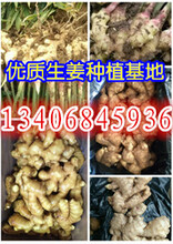 山东生姜产储基地图片