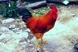 预防雏鸡死亡的有效措施