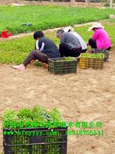 五色草种苗的种植