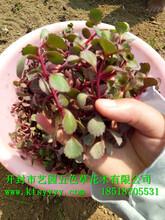 胭脂红景天种植