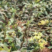 石斛种植施肥方法-东莞市利源农业科技图片
