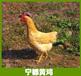 厂家销售江西优质名鸡正宗宁都山凤凰土三黄鸡小公鸡活鸡
