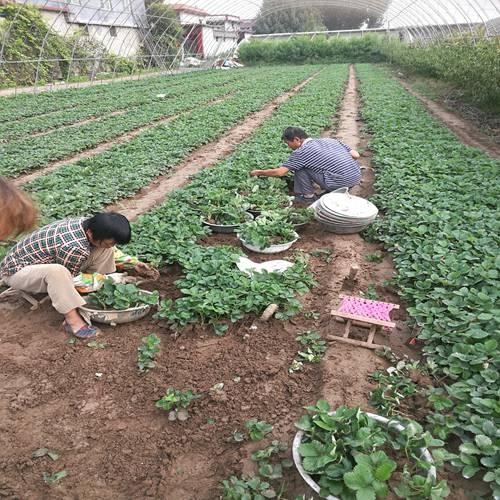 新闻资讯宿州红19草莓苗规格齐全质量好