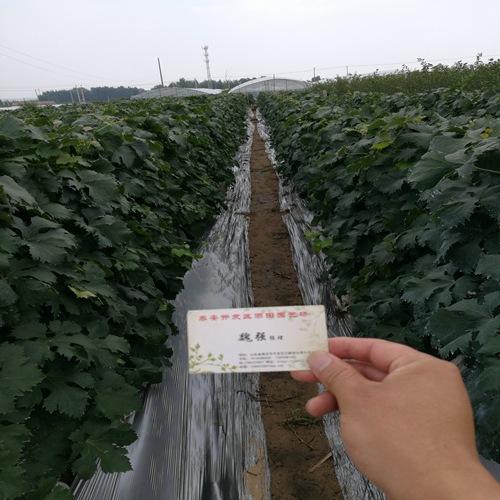 便宜出售:中卫金田玫瑰葡萄苗哪里有便宜的
