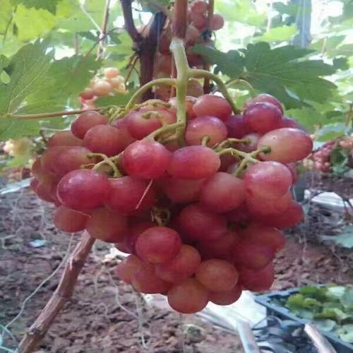 资讯:中卫黑玫瑰葡萄苗专业育苗基地