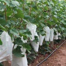 陕西青提葡萄种植基地青提葡萄价格陕西青提葡萄