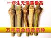广西葛根种苗/一年生粉葛品种/未发芽扦插苗