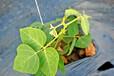 无菌葛根苗/粉葛种苗/广西万丰葛业葛根种植基地主打品种