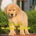 纯种金毛幼犬出售纯种金毛幼犬出售北京金毛出售