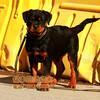 北京哪卖罗威纳幼犬赛级罗威纳幼犬多少钱