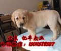 北京哪里卖拉布拉多犬赛级拉布拉多多少钱一只