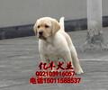 纯种拉布拉多赛级拉布拉多幼犬多少钱亿丰犬舍