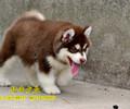 北京哪里卖阿拉斯加双血统阿拉斯加幼犬多少钱