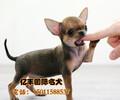 北京哪卖纯种吉娃娃幼犬纯种吉娃娃哪里有可送货