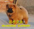 北京哪有卖松狮幼犬双血统松狮多少钱一只