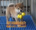 自家繁殖日系柴犬赛级品质纯血统柴犬出售柴犬幼犬多少钱