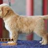 高品质金毛出售纯种金毛幼犬哪里卖