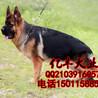 北京哪卖纯种德牧犬锤系德牧幼犬出售纯种德牧幼犬出售