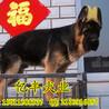 北京通州哪里有卖德国牧羊犬双血统纯种德牧幼犬出售