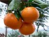 四川柑橘苗批发,四川柑橘苗特点,四川柑橘苗出售